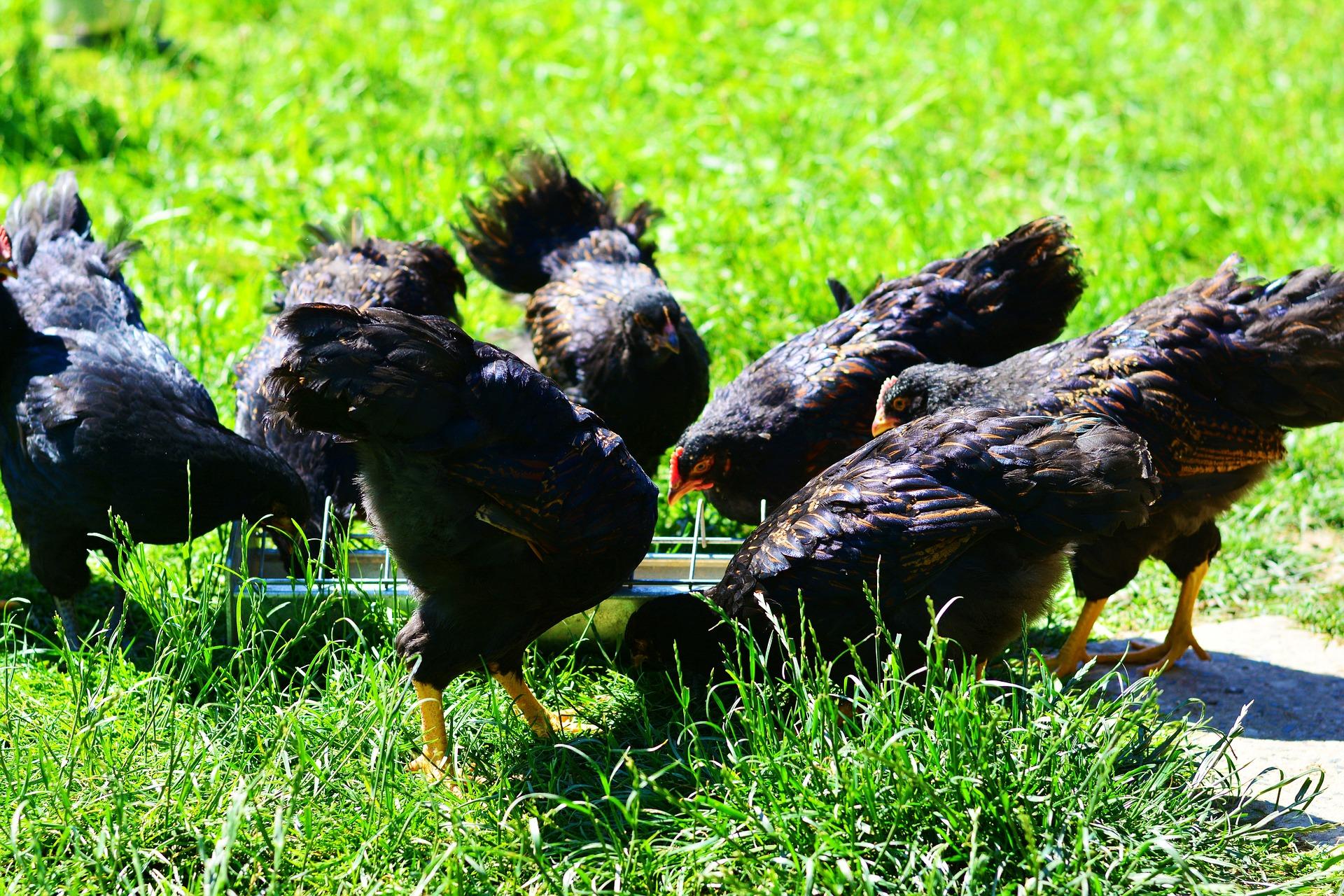 Bio Hühnerfutter - Schnell finden!