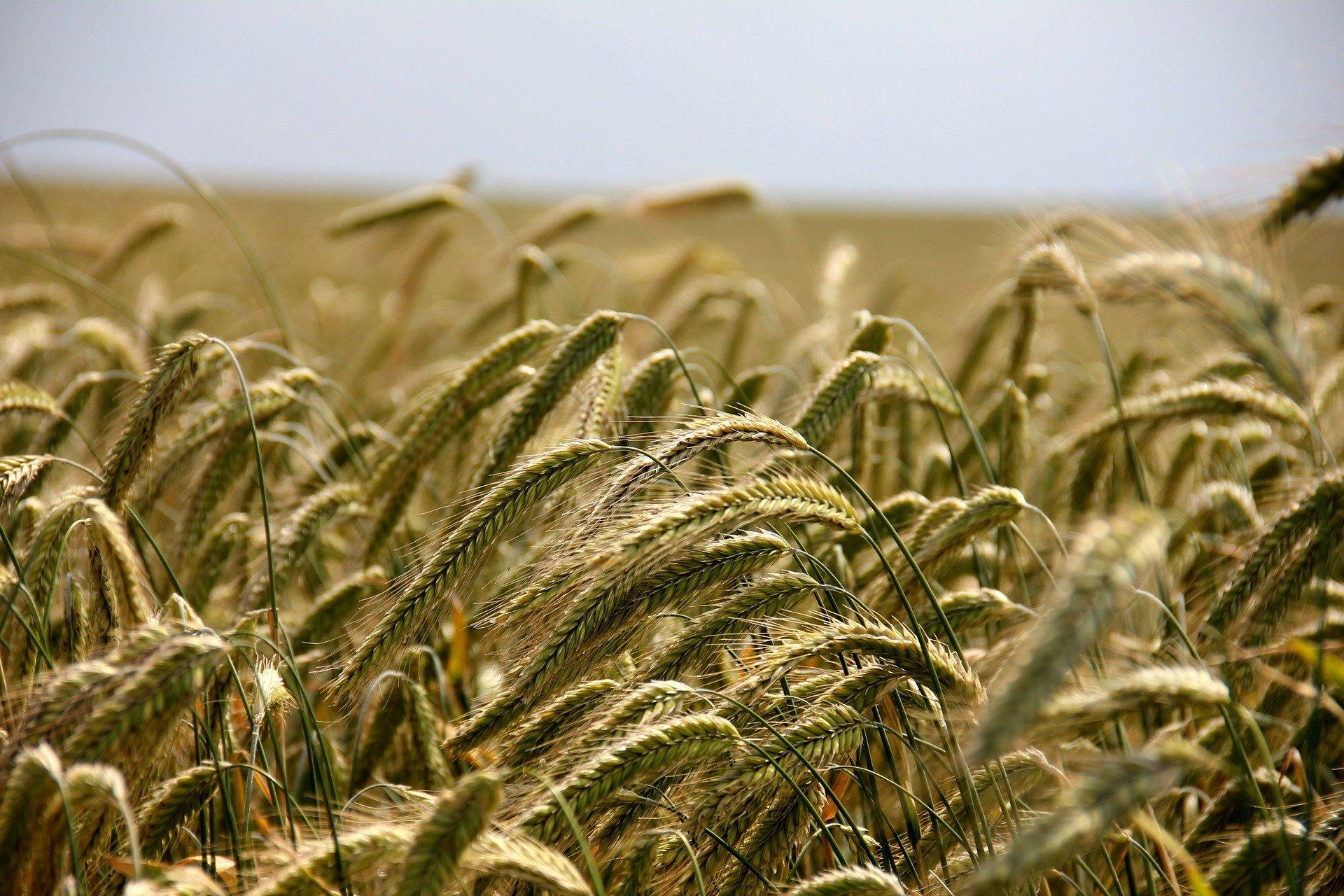 Bio Weizengras Pulver - Kaufideen. Beste Bio Weizengras Pulver finden